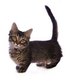 Munchkin cats are sought after, not just for their unique look, but their snuggly and playful personalities.