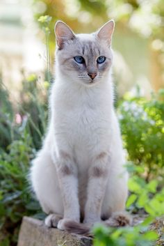 I have a kitty named Tigra. She looks just like this beautiful cat. Cute Cats And Kittens, Cool Cats, Kittens Cutest, Funny Kittens, White Kittens, Black Cats, I Love Cats, Pretty Cats, Beautiful Cats