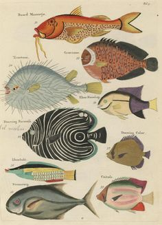 Fish found off the Island of Maluku and nearby waters. Poissons, ecrevisses et crabes. 1754.