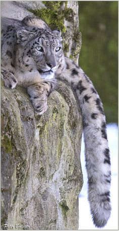 Snow Leopard....look at that gorgeous tail.