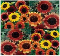 Helianthus Autumn Beauty Small Flowers, Wild Flowers, Planting Sunflowers, Passion Flower, Sunflower Seeds, Warm Colors, Bloom, Autumn, Garden
