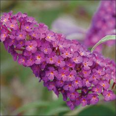 Buddleia Buzz Magenta  Limited space? This Butterfly Bush is made for small spaces. Expect it to get around 3ish feet tall and wide.