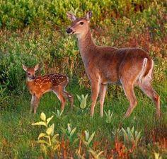 Deer mama & baby❤️