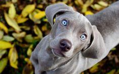 Weimaraner Puppies - 32 Pictures