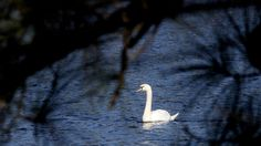A lone swan plies the waters at Newport News Park Saturday morning. (Photo by Rob Ostermaier / Daily Press) The Virginian, Newport News, Hampton Roads, Saturday Morning, The Hamptons, Swan, Park, Pictures, Photos