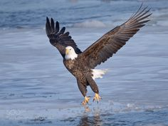 Bald Eagle - Pinned by Mak Khalaf This bird was photographed at Lock & Dam 18 in Burlington Iowa. You can see chunks of ice in the river. This bird is ice fishing!!! Animals EagleBald EagleBirdsbird of preyicy wateroutdoorsraptorriver by linda31