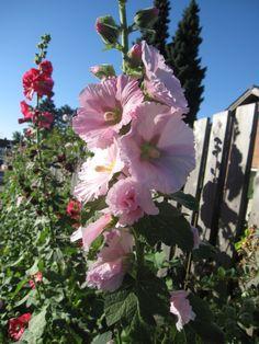 pink flower, stockrose    Added by Heidi Andersen-pmp