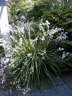 Libertia grandiflora Tough evergreen perennial 3-4 ft. tall with spikes of white flowers May-June.