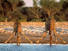 How giraffe's drink water!