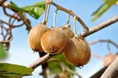 Kiwi schneiden – So gehen Sie dabei richtig vor Pear, Plants, Epoxy Resin Wood, Nursing Care, Bulb