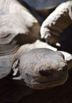 Tortuga pequeña galápagos