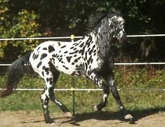 British Appaloosa horse