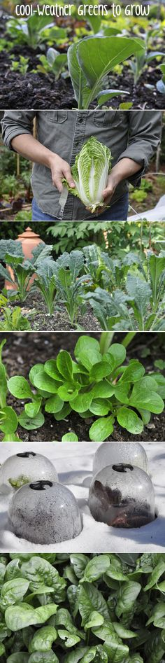 Grow these cold weather leafy greens and keep your garden alive all winter. Cabbage, Kale, Spinach, Mache and Winter Lettuce - tips on how to grow these on the blog!
