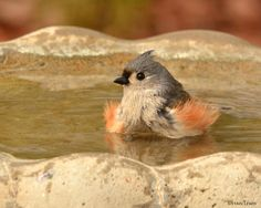tufted_titmouse. photo credit: Stan Lewis