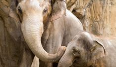 Elephants at a popular zoo are harassed and abused by herding dogs. The elephants are afraid when chased by the dogs, posing a threat to their trainers. Demand that this cruel and unusual treatment of elephants be put to an end. Elephant World, Elephant Family, Asian Elephant, Elephant Love, Elephants Photos, Elephant Pictures, Baby Elephants, Giraffes, Beautiful Pictures Hd