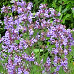Sauge+officinale+-+Salvia+officinalis Salvia Officinalis, Botanical Gardens, Herbalism, Nature, Backyard, Gardening, Charlotte, Sport, Gardens
