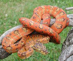 Amazonas - serpente nativa