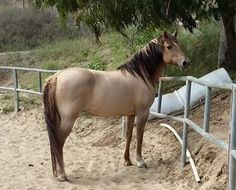 California Vaquero Horse Association | Conformation Standards