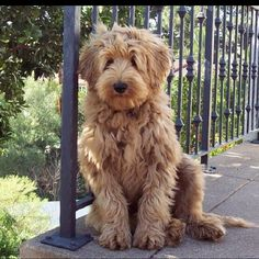 Goldendoodle. Oh my this will be our next pet lol so cute