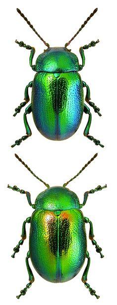 Chrysolina graminis (Linnaeus, 1758) F Chrysomelidae