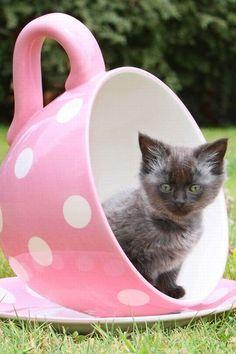 ς๏l๏г ๓y ฬ๏гld ☛ק๏lкค ∂๏t☚ #cats #kittens #pets #animals