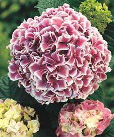 Raspberry Parfait Hydrangea Plant - Set of Three by Michigan Bulb Company