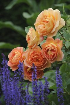 English Roses Lady of Shalott (Ausnyson), David Austin Rose Roses David Austin, David Austin Rosen, All Flowers, Pretty Flowers, Purple Flowers, Exotic Flowers, Beautiful Roses, Beautiful Gardens, Rose Foto
