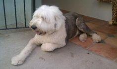 sheepdog (Zach)