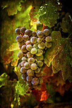belle grappe de raisins