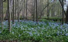 """Mertensia virginica, Virginia Bluebells, a favorite native that I just learned is """"Seldom Severely Damaged"""" by deer. These spring ephemeral bulbs spread aggressively. This photo was taken at Bull Run Regional Park in Centreville, Va. Image: www.birdingbaker.wordpress.com"""