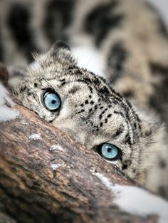 The eyes of a snow leopard