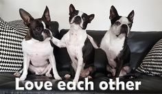Do you watch movies with your Boston Terrier(s)? If you don't have a Boston Terrier. this is what it's like to watch a movie with a Boston Terrier! Baby Boston Terriers, Boston Terrier Art, Terrier Breeds, Terrier Puppies, Terrier Mix, Bull Terrier, English Terrier, Puppy Facts, Dog Love