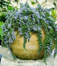 Perennial - Trailing Rosemary - Creeping Rosemary - 'Santa Barbara' rosmarinus officinalis lavandulaceous (2 plants per order)