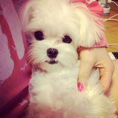 :) Oh are you beautiful and loved I see. :D #maltese