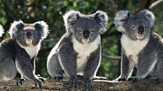 Koalas ohhhwww so lovely so sweet
