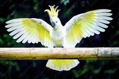 Cockie Wings