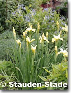 Iris sibirica 'Butter and Sugar' (Sibirische Garten-Schwertlilie) Bild 2