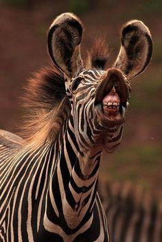"""STELLA"" screamed the broken hearted zebra."