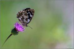 B&W & colors. | Melanargia Galathea. . Sony NEX-6 + Tair-11A… | Flickr