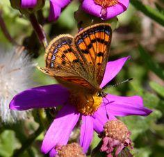 Coastal Butterfly 2 (NZ) #newzealand #nature
