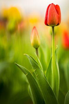 Тюльпаны от 500px