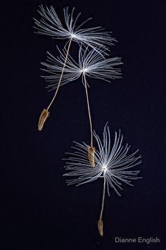 Buy The Three Ballerinas by Dianne English as a Poster Throw Pillow Tote Bag Art Print Canvas Print Framed Print Photographic Print Metal Print or Greeting Card Dandelion Art, Dandelion Wish, Dandelion Seeds, Black Paper, Make A Wish, String Art, Macro Photography, Belle Photo, Black Backgrounds