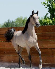Re-Pinned Post: Adeela,Straight Egyptian, Purebred Arabian 2008 Grey Mare Mehr