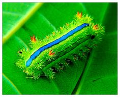 Green Mango Caterpillar -- this green... this blue... splashes of navy blue accents.