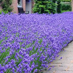 Lavandula Angustifolia Munstead, Lavender Hedge, Lavender Garden, Lavender Flowers, Summer Flowers, Blue Flowers, Hedging Plants, Purple Flowers, Interior Garden