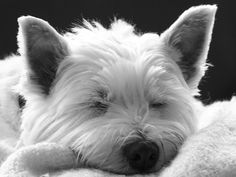 Sleeping Westie Dog - West Highland Terrier