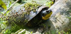 Save the Blanding's Turtle! Please SIGN & SHARE!