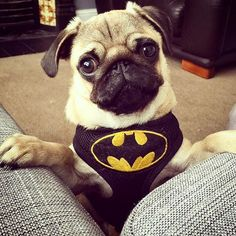 @Regrann from @thebatmanpug -  Thanks so much to @the_pug_diary for the awesome…