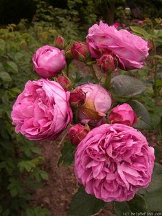 Hybrid Perpetual Rose: Rosa 'Clémence Raoux' (France, 1869)