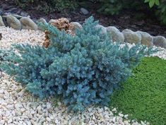 Blue star juniper (Juniperus squamata 'Blue Star') the bright steel-blue color of this prostrate conifer looks fabulous with burgundy, golden and other contrasting colors. Full sun. 1'-3' x 1'-4', Hardy in zones 4-8
